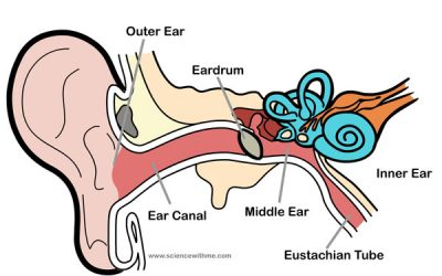 Learn about the Ear