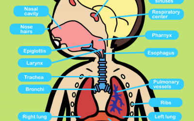 Learn about the Respiratory System