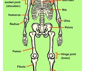 Learn about the Skeleton